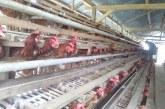 Desa Poyowa Besar Dua Jadi Pusat Produksi Telur Ayam